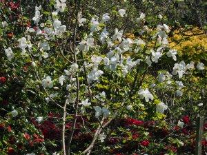 Magnolia pseudokobus 'Kubushi-modoki'