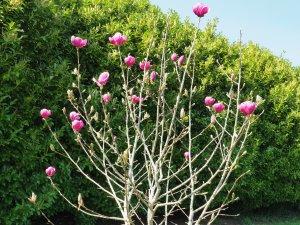 Magnolia 'Rose Marie' x Magnolia 'Black Tulip'