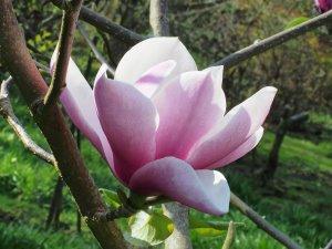 Magnolia 'Tikitere'