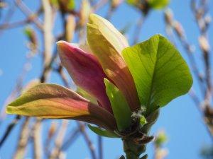Magnolia x brooklynensis 'Woodsman' x Magnolia 'Pink Surprise'