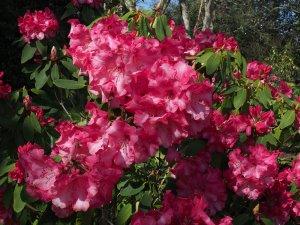 Exbury's Rhododendron 'Lady Montagu Group'