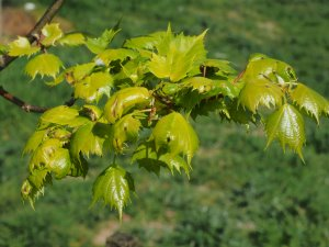 Tilia mongolica 'Harvest Moon'