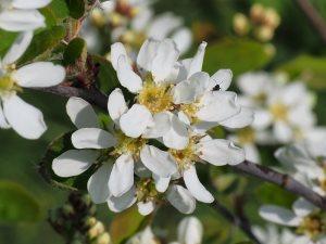 Amelanchier florida