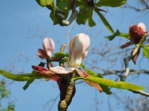 Magnolia officinalis var. biloba
