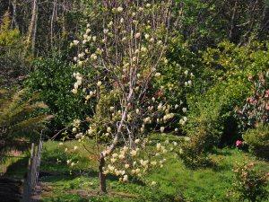 Magnolia 'Yellow Lantern'