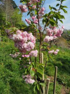 Prunus 'Daikoku'