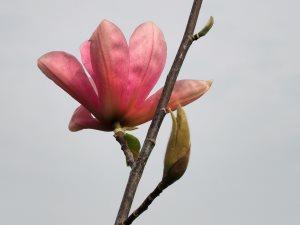 Magnolia 'Pink Surprise'