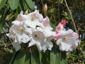 Rhododendron loderi 'King George'