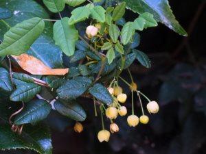 Boquilla trifoliata