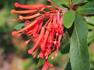 Embothrium flowers