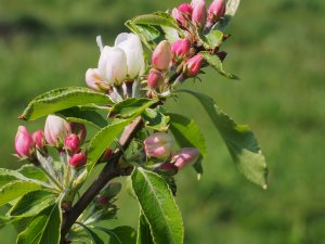 Malus 'Jelly King'