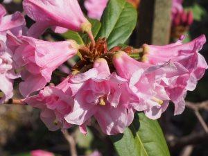 Rhododendron 'Johnny Johnstone'