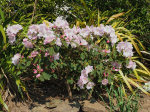 Rhododendron 'Tinners Blush'