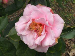 Camellia reticulata 'Lila Naff'