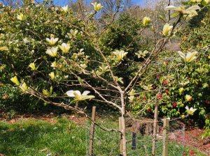 Magnolia 'Honeybelle'