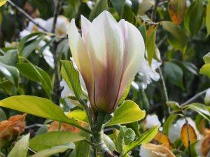 Magnolia x brooklynensis 'Titan'