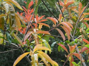 Photinia nussia