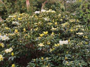 Rhododendron 'Michael's Pride'