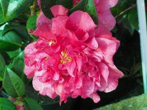 Camellia x williamsii 'Tristram Carlyon'