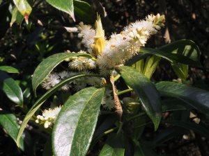 Symplocos dryophylla