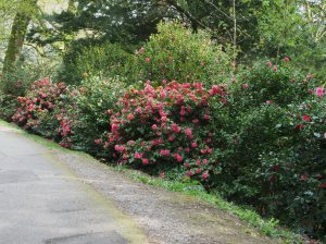 camellias below the fernery