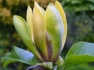 Magnolia x brooklynensis 'Woodsman' x 'Patriot'