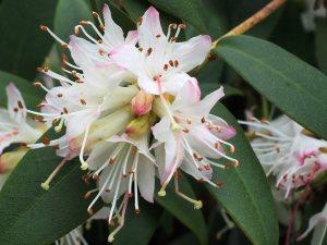 Rhododendron hanceanum