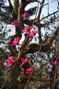 Magnolia 'Betty Jessel' x Magnolia 'Darjeeling'