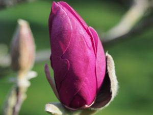 Magnolia 'Antje Zandee'