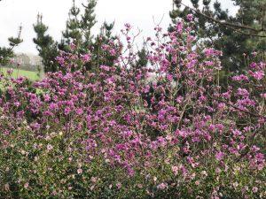 Mag. campbellii seedling