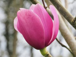 Magnolia dawsoniana 'Chindit'