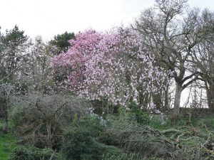 Magnolia 'Athene'