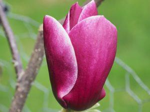 Magnolia 'Black Tulip' x Magnolia 'Pickards Ruby'