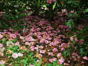 Camellia 'Brigadoon'