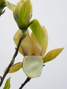 Magnolia 'Banana Split'