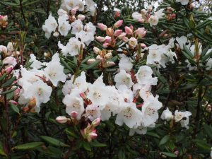 Rhododendron aberconwayi