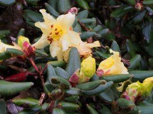 Rhododendron valentianum