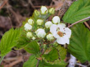 Crataegus chinensis