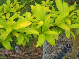Salix undensis 'Golden Sunshine'