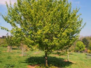 Acer campestre 'Elsrick'