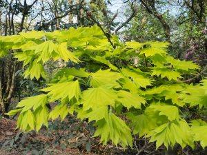 Acer shirasawanum 'Aureum'