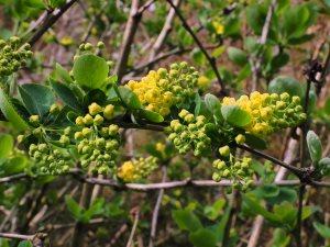 Berberis amurensis var. latifolia