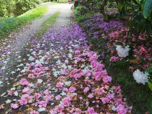 Camellia 'Brigadoon' and Rhododendron desquamatum