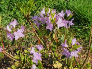 Rhododendron davidsonianum 'Caerhays Pink Form'