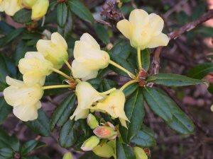 Rhododendron luteiflorum