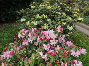 Rhododendron 'Michael's Pride' and Rhododendron veitchiorum