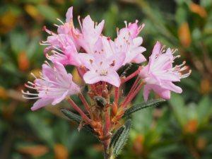 Rhododendron virgatum