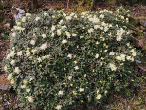 Rhododendron 'Yaku Fairy'