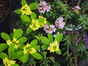 Daphne gemmata and Daphne cneorum