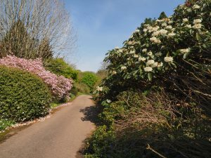 Rhododendron sinogrande and Rhododendron 'Emma Williams'